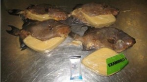 Cocaine was found in fried fish from Jamaica at the Miami Airport. (US Customs image)